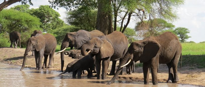 Drinking herd of elephants in Tarangire National Park