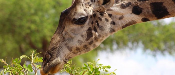 Giraffe eating during a safari in Tarangire National Park