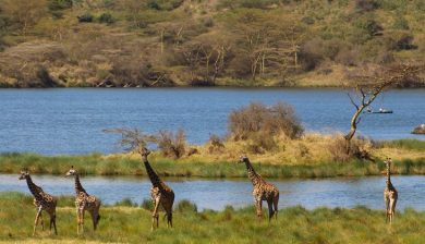 Giraffes at Momella Lakes in Arusha National Park